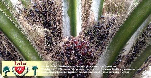 การจัดการสวนปาล์มน้ำมันเพื่อลดต้นทุนพิ่มผลผลิต