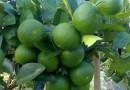 (Thai) มะนาวแป้นศรีนาวา
