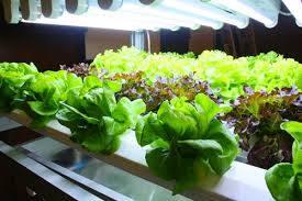 (Thai) เทคโนโลยีใช้แสงจาก LED ปลูกพืช เปลี่ยนการเกษตรยุคใหม่