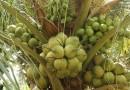 วิธีปลูกมะพร้าวน้ำหอม ให้หอมหวาน