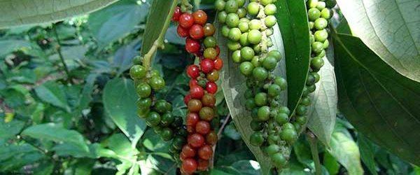 เกษตรผสมผสานปลูกพริกไทยบนต้นเหรียง ผลผลิตงาม